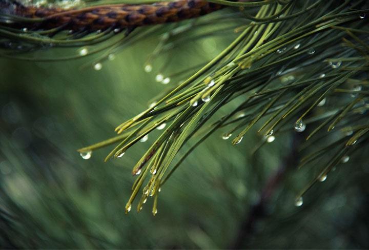松の葉画像
